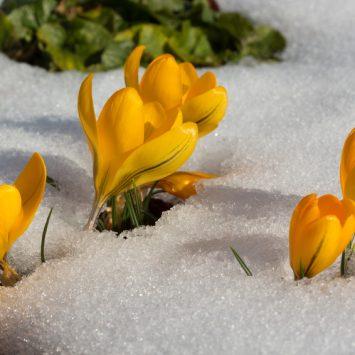 Gelbe Krokusblüten durchbrechen eine Schneedecke